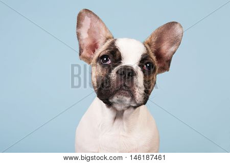 French bulldog puppy in studio on pastel color blue background