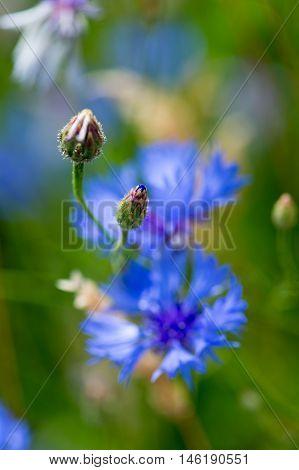Bud Of Blue Cornflower