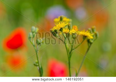 Asteraceae or Compositae in nature in front of red poppies