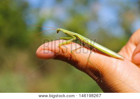 Praying mantis (Mantis religiosa) on my finger