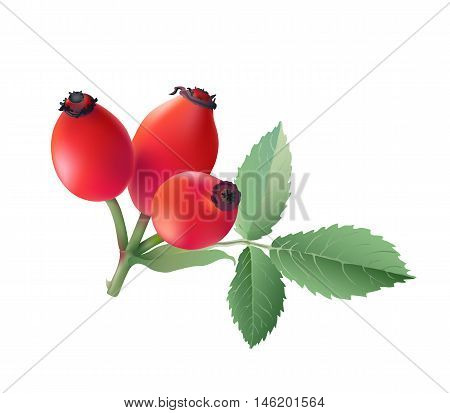 Rose hips.  Hand drawn vector illustration of wild rose hips with green leaves on transparent background.