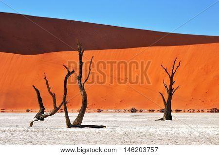Dead Camelthorn Trees against red dunes and blue sky in Deadvlei Sossusvlei. Namib-Naukluft National Park Namibia Africa