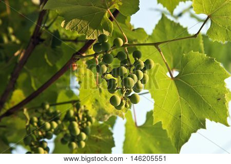 the green grapes on a Sunny day