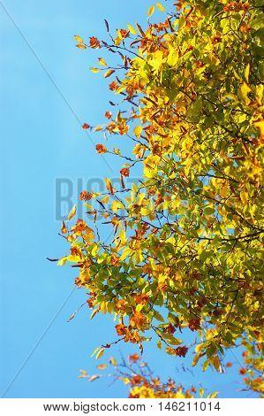 Hornbeam autumn branches against a cloudless blue sky