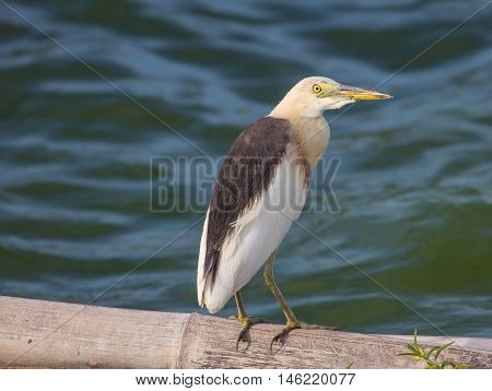 Chinese Pond Heron In The Nature