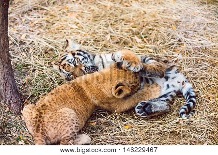 Two Adorable Amur Tiger Cubs Hiding in Shelter Panthera Tigris Altaica