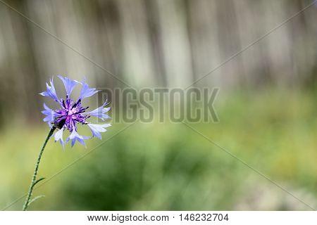 Blue knapweed growing on the summer forest background / medicinal flower cornflower