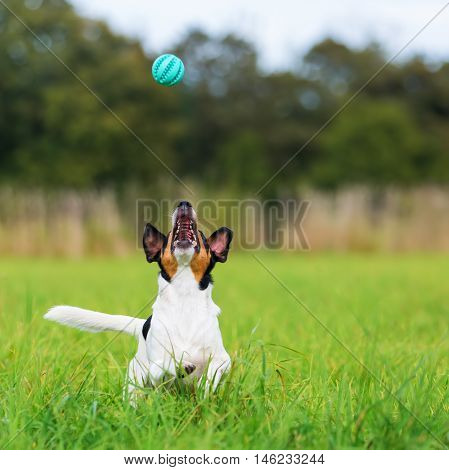 Parson Russell Terrier on the grass snaps at a ball