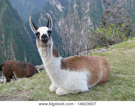 Little Lama