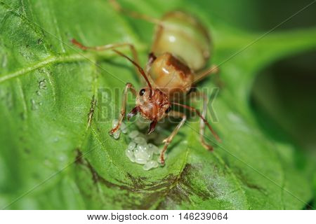the weaver ant queen guarding her eggs