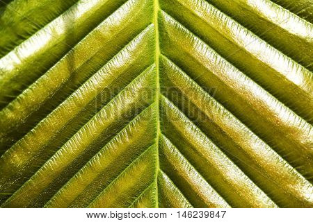 Green Leaf Texture for background. (Dipterocarpus Alatus)