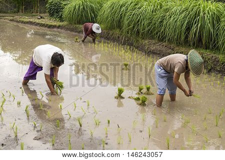 Thai Farmer Planting Young Paddy In Agriculture Field.
