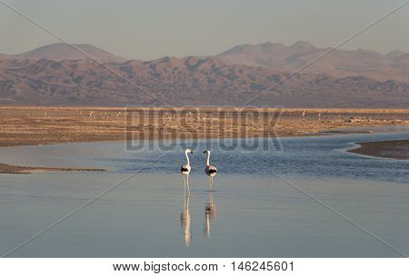 Sunset in Atacama Salar with Flamingos, Chile / Salt lake with flamingos and mountains on the background at Atacama Salar, Chile