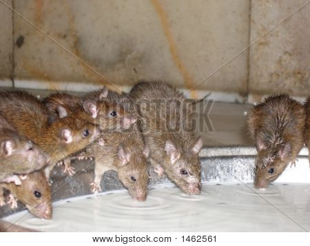 Curiuous Rats Drinking Milk