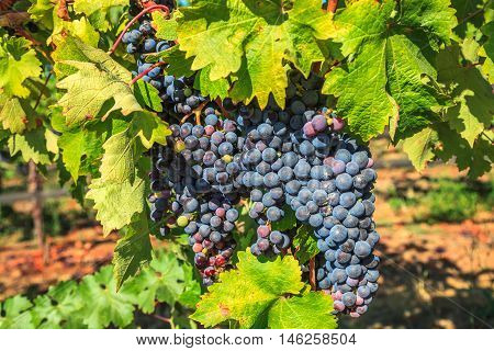 Close up of red grapes on the vine. Napa valley, San Francisco Bay Area in northern California, USA.