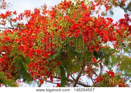 Flamboyant The Flame Tree Royal Poinciana Peacock flower Caesalpinia ulcherrima Leguminosae