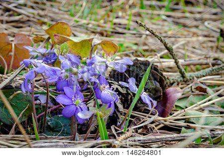 Blue flowers of Hepatica Nobilis close-up. Selective focus.
