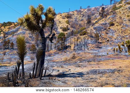 Burnt Joshua Trees on a charcoaled landscape taken after the Blue Cut Fire in the Mojave Desert, CA
