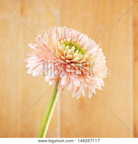 pink gerbera daisy flower on wooden background