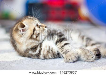 Lop-eared kitten plays. Scotland cat kitten. Little playful kitten