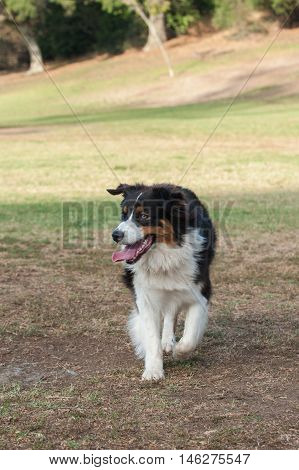 Australian Shepard dog walking with happy expression looking left.