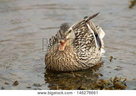 A female Mallard duck defending it's territory