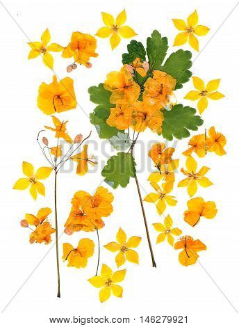 pressed celandine perspective dry delicate yellow flowers and petals and fleecy green leaves isolated background