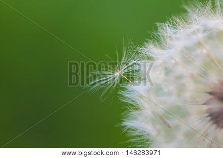 Dandelion seeds blowing away across a fresh green background. Close up shoot
