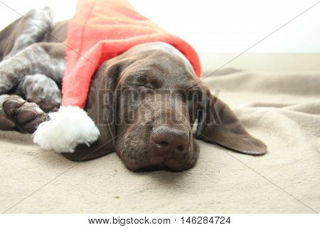 German shorthaired pointer puppy 10 weeks old. Sleeping with santa's hat