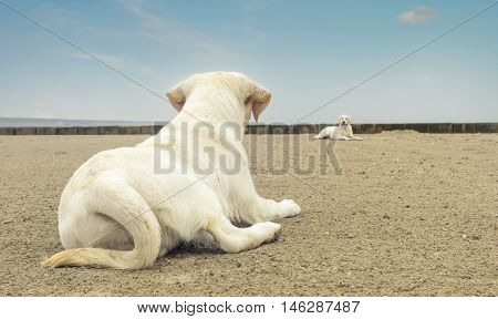 two cute labrador dog puppies lying on the beach an looking at each other