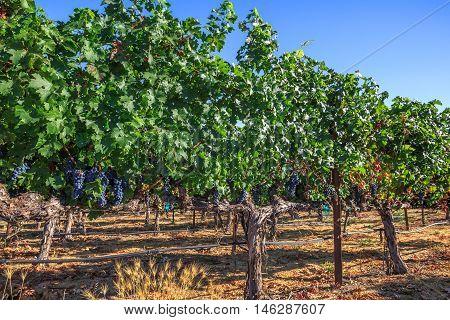 Vineyard in Napa Valley, San Francisco Bay Area in northern California, USA.