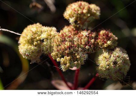 Flowers of a orpine plant (Sedum telephium)