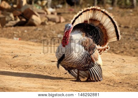 A Proud Turkey with his plumage during courtship