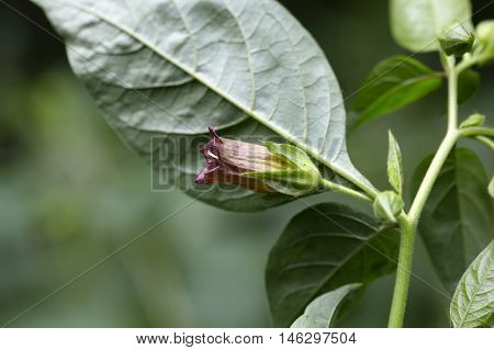 Flower of a belladonna or deadly nightshade (Atropa belladonna)