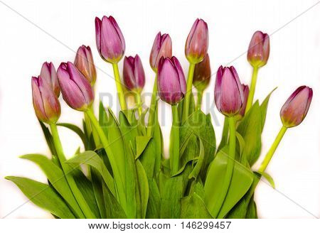 bunch of magenta tulips isolated on white background