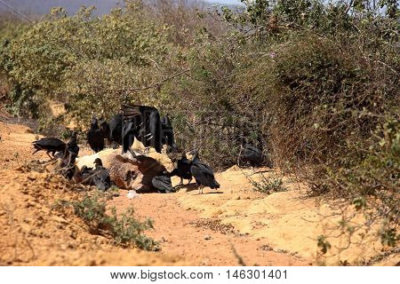 The Black Vulture at Aas seizure in the Caatinga of Brazil