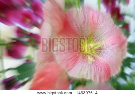 One single deep pink holly hock bloom with deep magenta blooms in background
