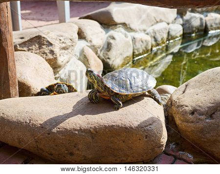 Pond slider on a stone in a sunny summer day.
