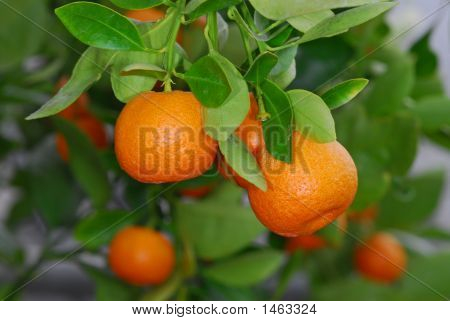 Calamondin Orange 2215