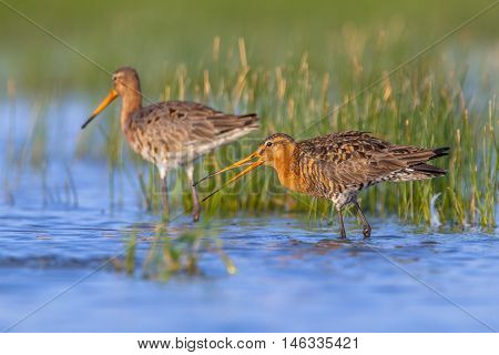 Pair Of Black Tailed Godwit