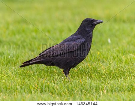 Black Crow Profile On Green Grass Background