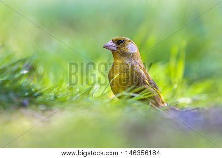 Male Greenfinch In Grass