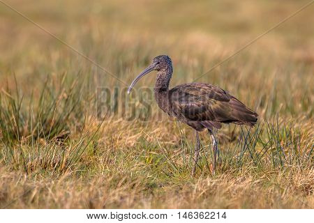 Glossy Ibis (plegadis Falcinellus) In A Brown Grass Field