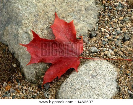 Maple Leaf In Fall Colors - Royalty Free Stock Photo