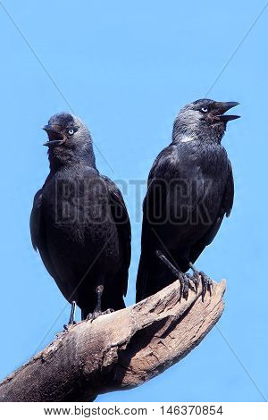 TwoWild Jackdaw - Corvus monedula on a blue background