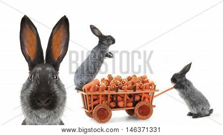 portrait rabbit and two gray rabbits vnut carrots