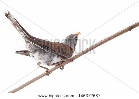 thrush (Turdus pilaris) isolated on white, studio shot
