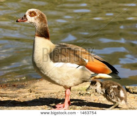 Egyptian Goose With Gosling