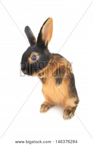 rabbit costs on hinder legs, isolated on white, studio shot