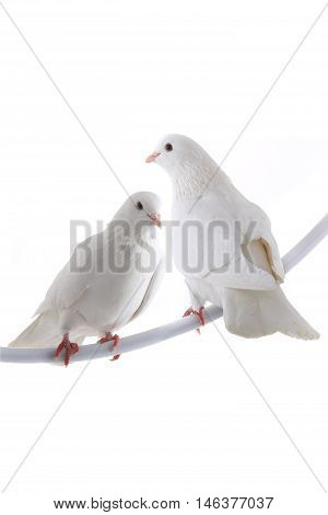 two white doves isolated on a white background